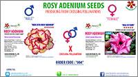 2016 Rosy Adenium Seeds
