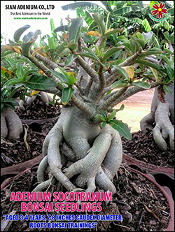Adenium Bonsai Seedlings