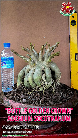 Bottle Adenium