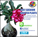 Rosy Adenium Grafted Plants
