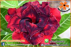 Rosy Adenium Seeds